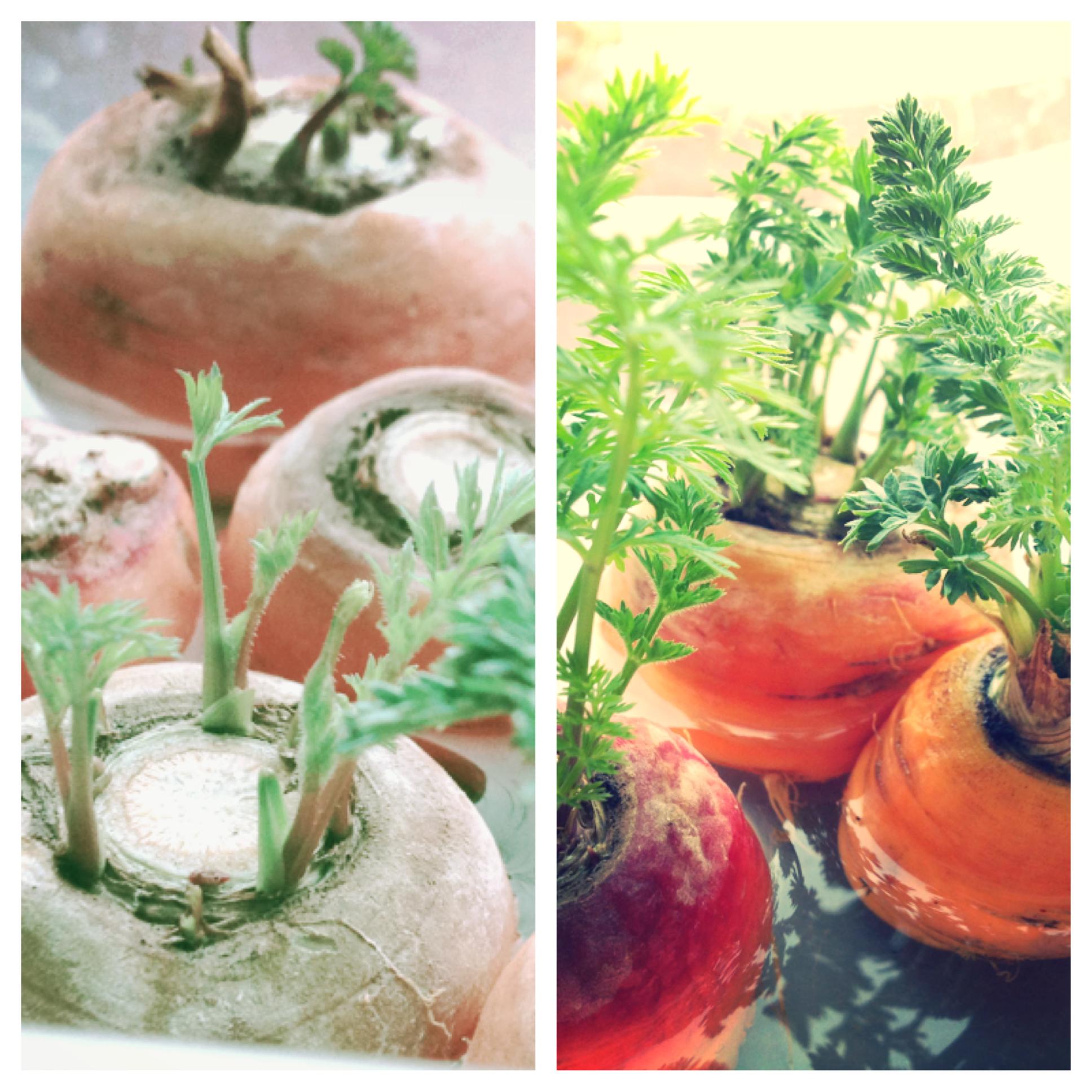 Carrot Top Growing Photo 1.jpg