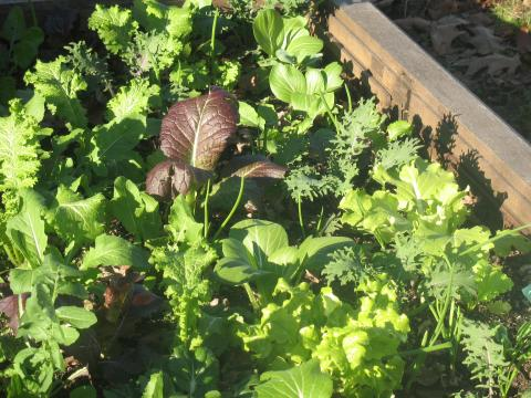 & Liberated Salad year round gardens | The Edible Schoolyard Project